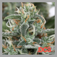 AK47 x White Widow Feminised | Discount Cannabis Seeds