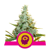 AMG (Amnesia Mac Ganja) Feminised Cannabis Seeds | Royal Queen Seeds