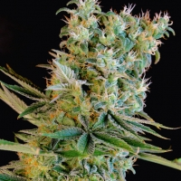 Amnesia Bilbo Feminised Cannabis Seeds