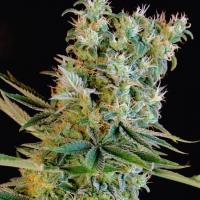 Amnesia Bilbo Feminised Cannabis Seeds