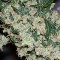 ASH Regular Cannabis Seeds | Mr Nice Seeds