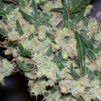 ASH Regular Cannabis Seeds | Mr Nice Seeds