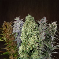 Ace Seeds Ace Mix Cannabis Seeds