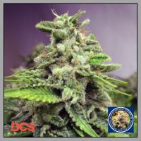 Auto Afghan Skunk Feminised Cannabis Seeds | Advanced Seeds
