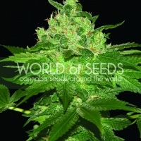 Afghan Kush Regular Cannabis Seeds | Discount Cannabis Seeds
