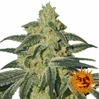 Afghan Hash Plant Regular Cannabis Seeds | Barney's Farm