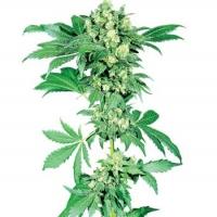 Afghani #1 Regular Cannabis Seeds | Sensi Seeds