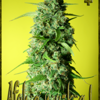 Afghany Kal Feminised Cannabis Seeds | Rockwell Seeds
