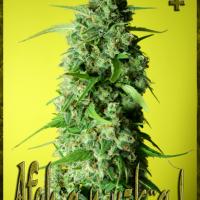 Afghany Kal Feminised Cannabis Seeds | Rockwell Seeds
