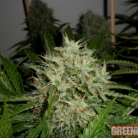 AK Widow 47 Feminised Cannabis Seeds | GreenLabel Seeds