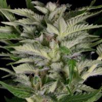 Alien Technology Feminised Cannabis Seeds | Big Head Seeds