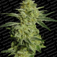 Allkush Feminised Cannabis Seeds | Paradise Seeds