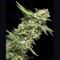 Alpujarrena Feminised Cannabis Seeds | Pyramid Seeds