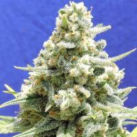 Amnesia Lemon Kush Feminised Cannabis Seeds   Original Sensible Seeds