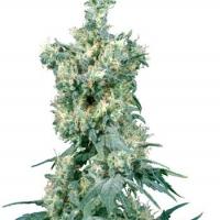 American Dream Regular Cannabis Seeds   Sensi Seeds