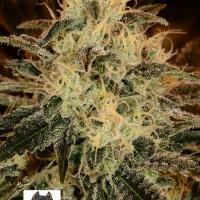 American Stafford Feminised Cannabis Seeds | Kera Seeds