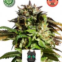American Stafford Auto Feminised Cannabis Seeds | Kera Seeds