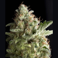 American Pie Feminised Cannabis Seeds |  Pyramid Seeds