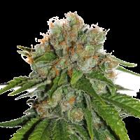 Amnesia Feminised Cannabis Seeds | Seed Stockers