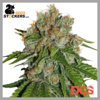 Amnesia Auto Feminised Cannabis Seeds | Seed Stockers