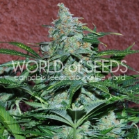 Amnesia Auto Feminised Cannabis Seeds | World of Seeds