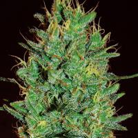 Amnesia Haze Feminised Cannabis Seeds | Expert Seeds