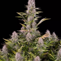 Amnesia Kush Feminised Cannabis Seeds - Dinafem Seeds