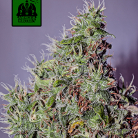 Amnesia Mistery Feminised Cannabis Seeds | Positronics