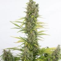 Amnesia CBD Auto Feminised Cannabis Seeds | Dinafem Seeds