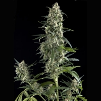 Auto Amnesia Gold Feminised Cannabis Seeds | Pyramid Seeds