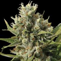 Amnesiac Auto Feminised Cannabis Seeds | Spliff Seeds