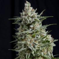 Anesthesia CBD Feminised Cannabis Seeds | Pyramid Seeds