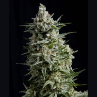 Auto Anesthesia Feminised Cannabis Seeds | Pyramid Seeds