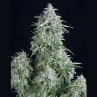 Anubis Feminised Cannabis Seeds | Pyramid Seeds
