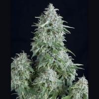 Auto Anubis Feminised Cannabis Seeds | Pyramid Seeds