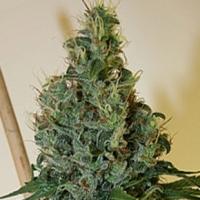 Buy Apothecary Genetics Congo OG Regular Cannabis Seeds