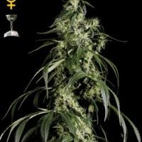 Buy Green House Seeds Arjan's Haze #1 Feminised Cannabis Seeds