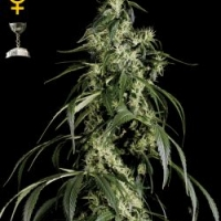 Arjan's Haze #1 Feminised Cannabis Seeds | Green House Seeds