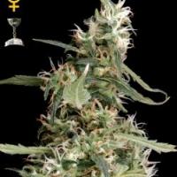 Arjan's Ultra Haze #1 Feminised Cannabis Seeds | Green House Seeds