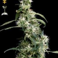 Arjan's Ultra Haze #2 Feminised Cannabis Seeds | Green House Seeds
