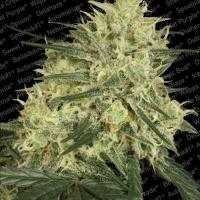 Atomical Haze Feminised Cannabis Seeds | Paradise Seeds