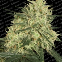 Atomical Haze Feminised Cannabis Seeds | Paradise Seeds