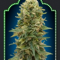 Auto Afghan Mass Feminised Cannabis Seeds