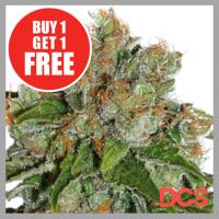 Auto Amnesia Feminised Cannabis Seeds | Discount Cannabis Seeds