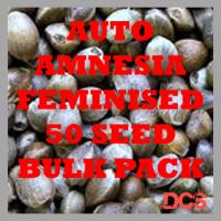 Amnesia Auto Feminised Cannabis Seeds | 50 Seed Bulk Pack