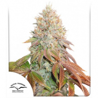 Auto Banana Blaze Feminised Cannabis Seeds | Dutch Passion