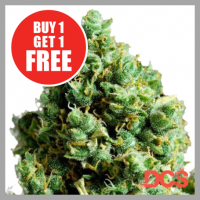 Auto Big Bud Feminised Cannabis Seeds | Discount Cannabis Seeds
