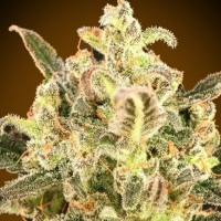 Auto Biodiesel Mass XXL Feminised Cannabis Seeds | Advanced Seeds