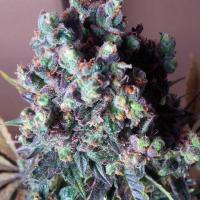 Auto Black Valium Feminised Cannabis Seeds | Top Shelf Elite