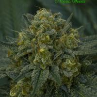 Auto Blackberry Moonrocks Feminised Cannabis Seeds - Anesia Seeds